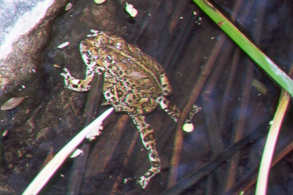 Frogs at it!.jpg (76395 bytes)